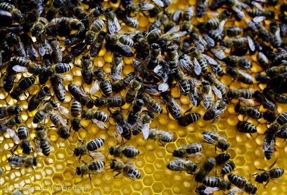 Bees on a Honeycomb in the Netherlands Bijen op een Honingraat