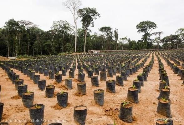 nursery de palmiers à huile