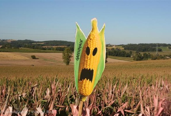 GE Painting Action to Expose Field of GMO Maize