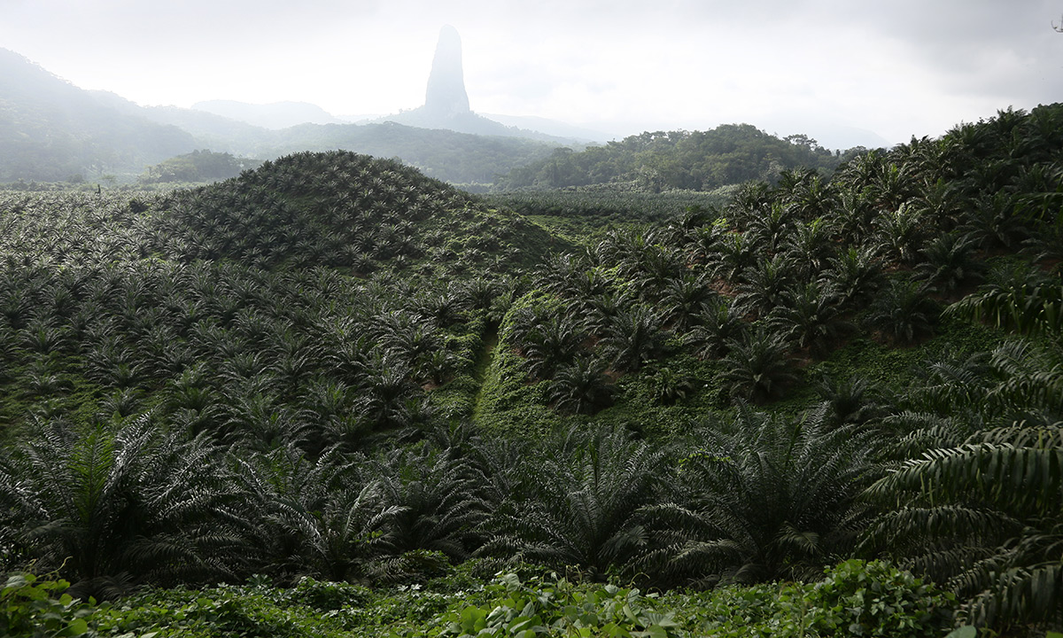 Une plantation de palmiers à huile appartenant à la Socfin à Sao Tomé. © Micha Patault / Greenpeace