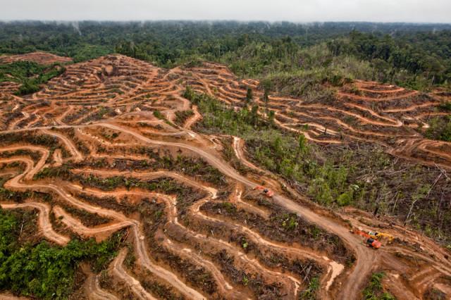 Une concession de l'un des fournisseurs de Proter & Gamble, en Indonésie © Ulet Ifansasti / Greenpeace 2014