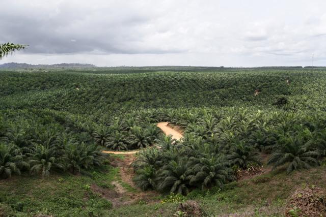 Une concession de la Socapalm vers Apouh-A-Ngog, au Cameroun. © Micha Patault / Greenpeace
