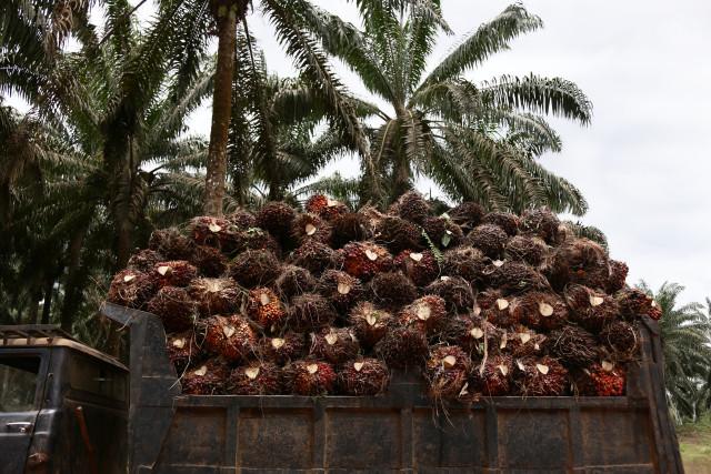 Un camion chargé des fruits issus des palmiers à huile de la Socfin. © Micha Patault / Greenpeace