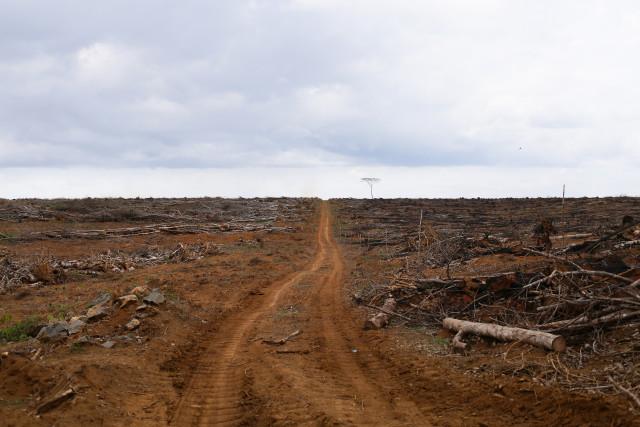 Coupe claire sur une concession de la Socapalm, pour permettre le régénération de palmiers à huile. © Micha Patault / Greenpeace