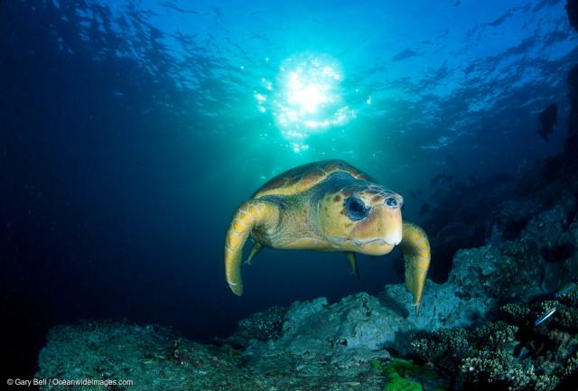 La tortue caouanne, une espèce menacée, au large du Queensland.