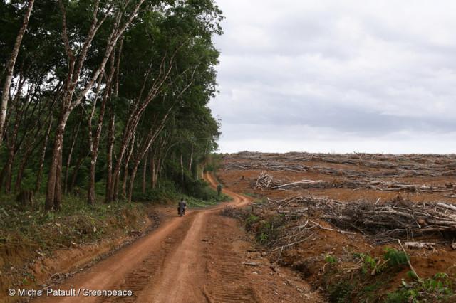 Plantation d'hévéas, Cameroun. La plantation d'arbres à caoutchouc est une des causes majeures de déforestation dans le bassin du Congo.