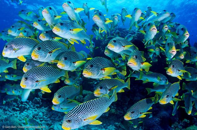 Banc de gaterins à bandes jaunes au large du Queensland.