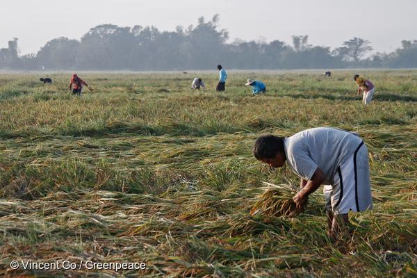 Ravages du typhon Koppu sur des rizières aux Philippines, en 2015