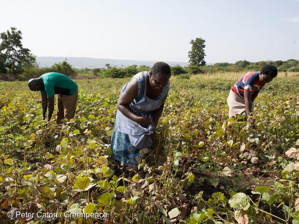 Merry Rabilo ramasse des haricots niébé sur sa plantation écologique à Kipasi, au Kenya. Les recettes issues de ses récoltes lui permettent d'envoyer ses enfants à l'école.