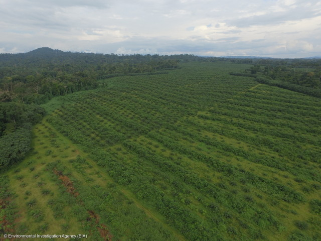 Vue aérienne des plantations de la SGSOC à Ebanga