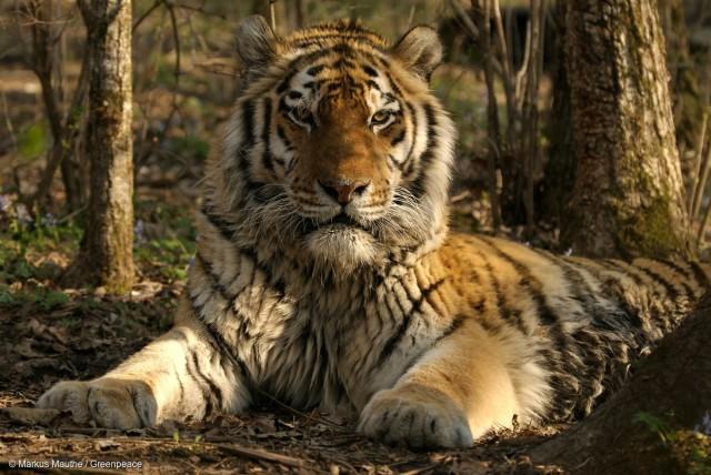 Tigre de Sibérie, dans la région de Primorye, sud est de la Russie.