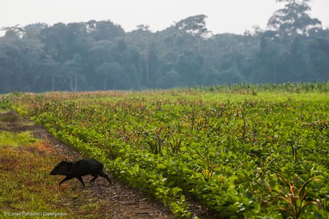 Un pécari traverse en toute hâte un champ de soja au Nord du Mato Grosso, en quête de la parcelle de forêt intacte la plus proche.