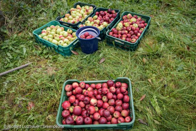 Des pommes cultivées dans une ferme agroécologique.