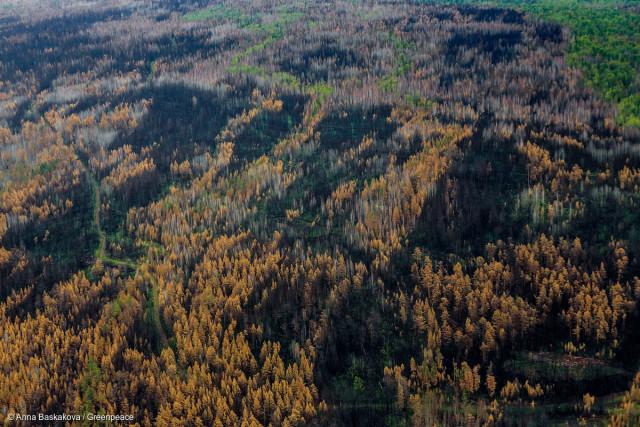 La Taiga Russe, un des écosystèmes les plus remarquables de la planète.  Chaque année, en Russie, 5 à 6 millions d'hectares de forêts brûlent. Ces feux alimentent des changements climatiques qui nous concernent tous.