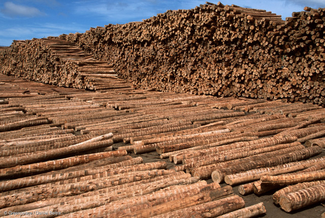 """Eucalyptus FSC certified wood for paper from """" Los Lagos"""", Puerto Montt. The Arctic Sunrise will be touring Patagonia and Chile for 4 weeks, investigating the extent to which the glaciers and ice-fields there are disappearing. The research team's findings confirm that a number of large glaciers, such as the San Quintin and Upsala glaciers, part of the Northern and Southern Patagonian ice-fields, have significantly thinned and have retreated several kilometres in recent years."""