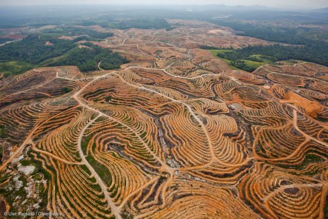 Les ravages de la déofrestation en Indonésie. Ici, un réseau de routes situé au beau milieu de l'habitat de nombreux orangs-outans, dédié à une concession de palmiers à huile.