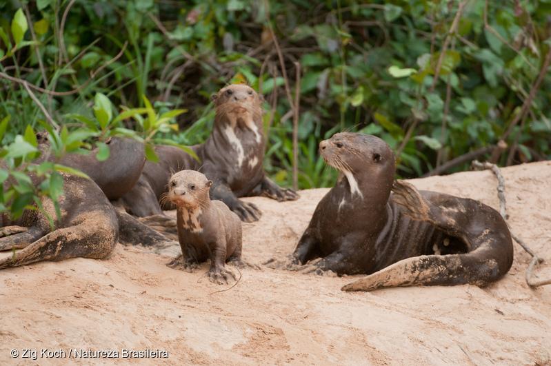 Des loutres géantes, une espèce en voie d'extinction d'après l'UICN, vivent dans l'embouchure du fleuve Amazone.