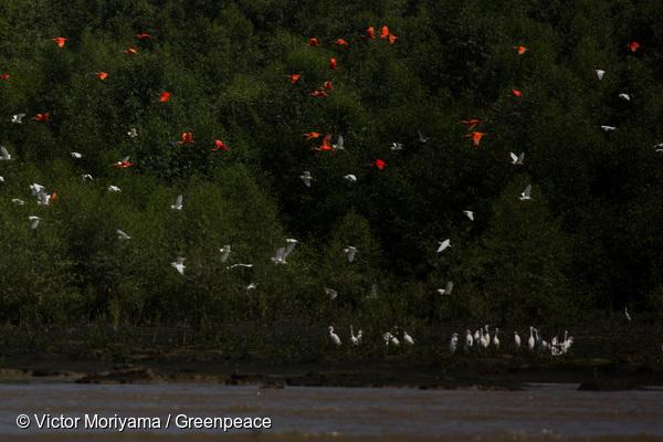 Les aigrettes et les ibis rouges du Cabo Orange.