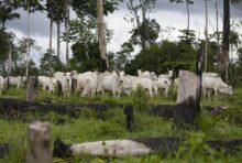 Brésil : Greenpeace suspend ses négociations avec le géant du bétail JBS