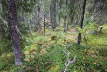 Forêts russes : un accord arraché par les ONG pour sauver Dvinsky