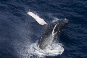 Création du Sanctuaire baleinier de l'océan Austral