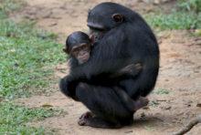 Afrique : les forêts intactes en danger