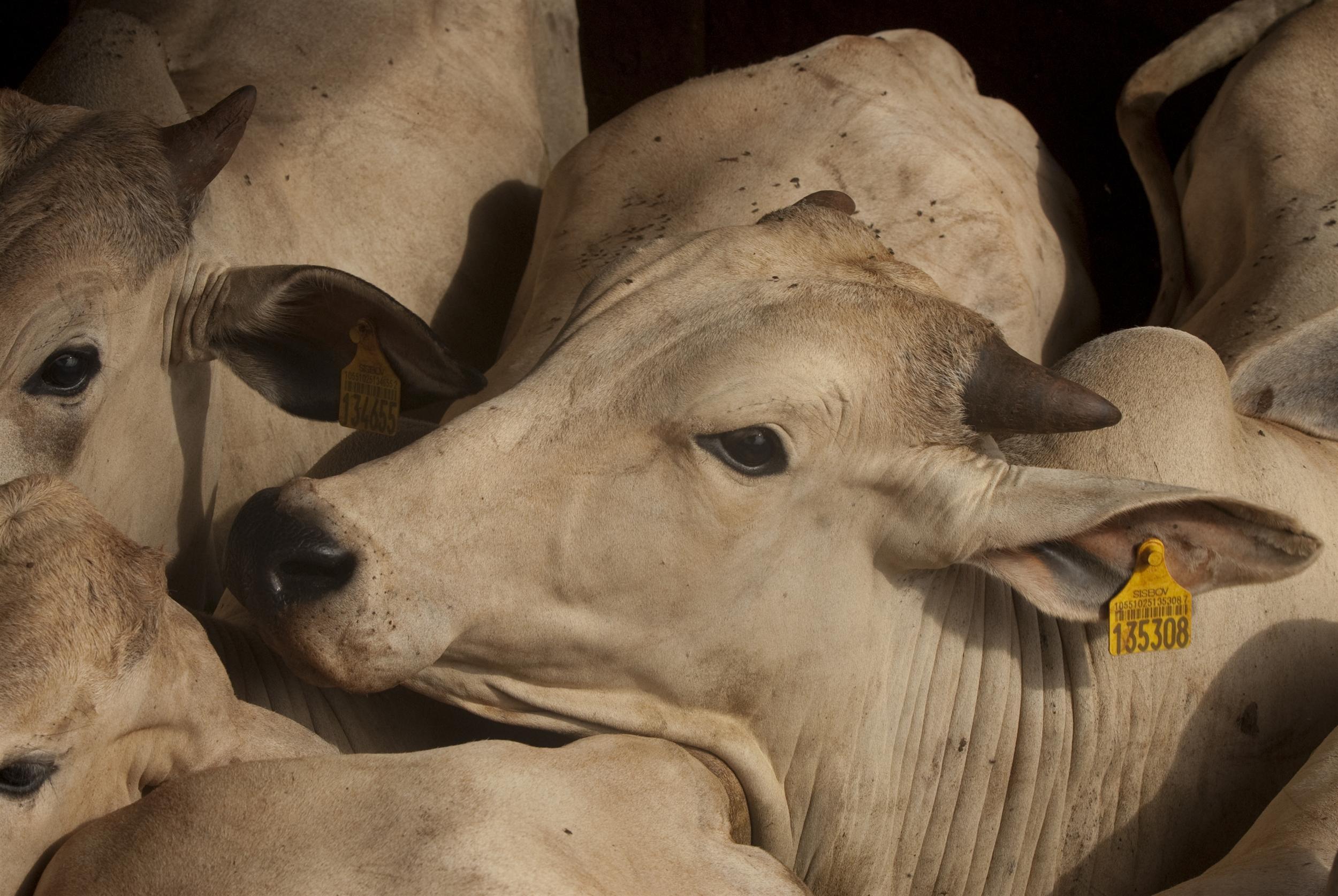 Un troupeau dans une ferme d'élevage industriel au Brésil