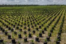 L'huile de palme n'a pas encore coupé les ponts avec la déforestation