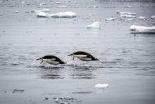 Journée mondiale des manchots : les stars de l'Antarctique