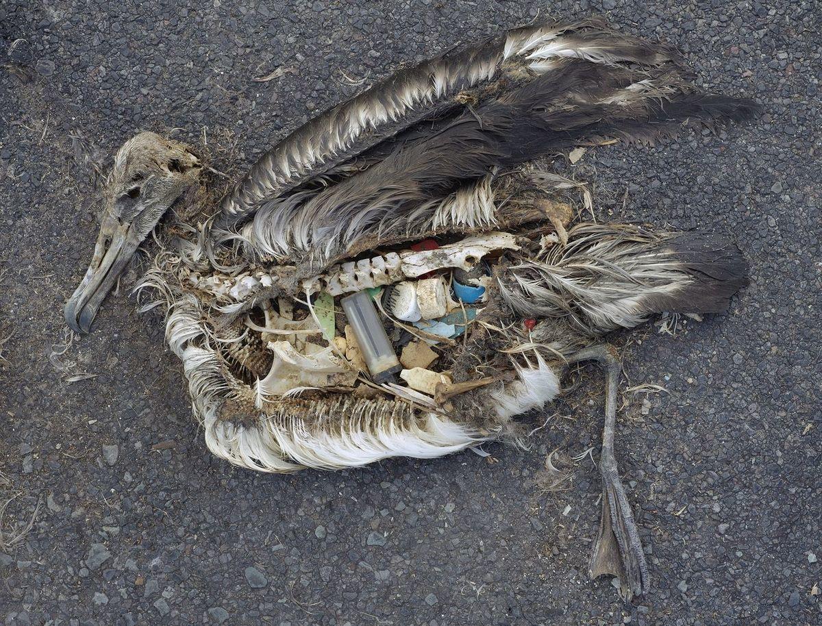 Albatros retrouvé mort sur une plage des îles Midway (océan Pacifique nord), l'estomac rempli de plastiques. Septembre 2009.