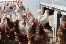 A Lescout, 185 000 poules menacent la santé des habitants
