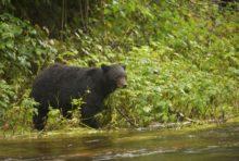 85 % de la forêt du Grand Ours, au Canada, sont sanctuarisés