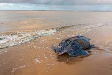 Déclin des tortues : symptôme du mal être des océans