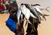 En Afrique de l'Ouest, le drame du poisson volé